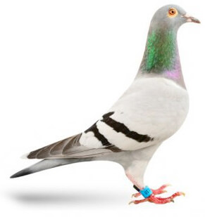 first lady pigeon
