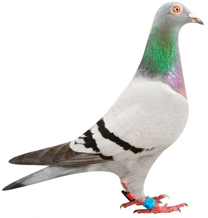 golden princess pigeon